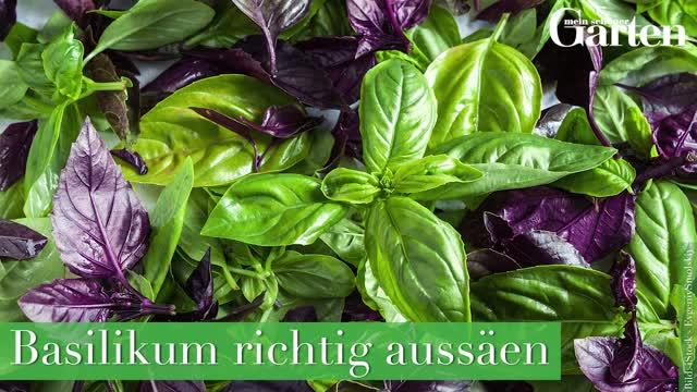 Beliebt Bevorzugt Basilikum erfolgreich ernten und aufbewahren - Mein schöner Garten #GQ_95