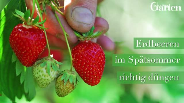 Prächtig Erdbeeren-Pflege: Pflanzen, Düngen und Schneiden - Mein schöner Garten @QV_95