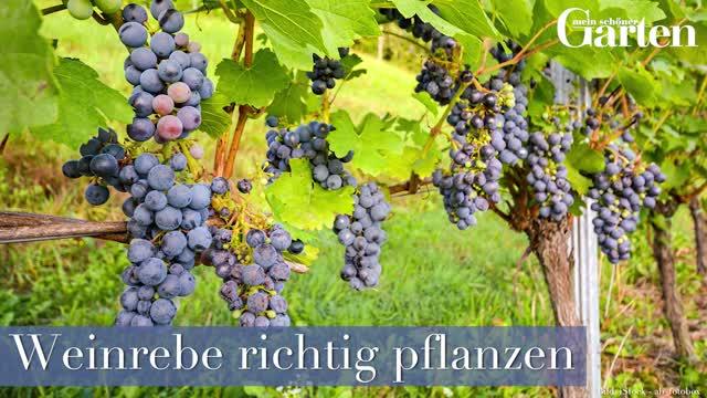 Prächtig Weinreben: Anbau, Pflege und Tipps - Mein schöner Garten &VR_58