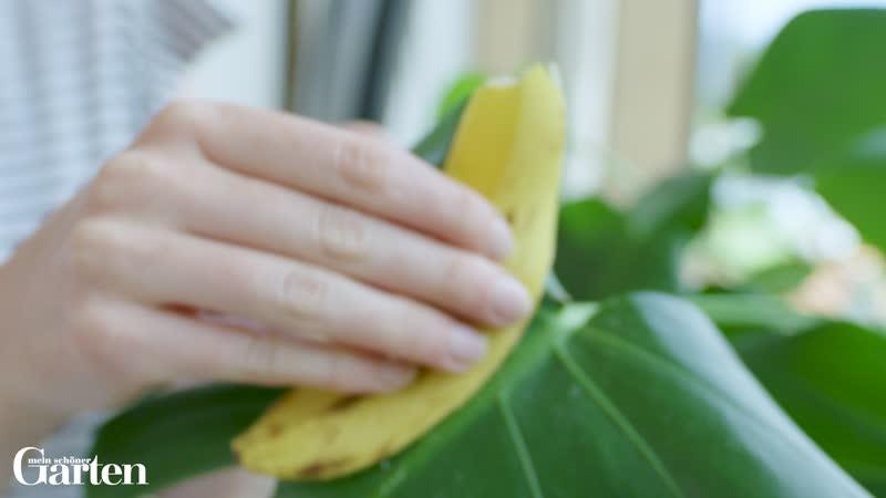 Zimmerpflanze mit Bananenschale reinigen