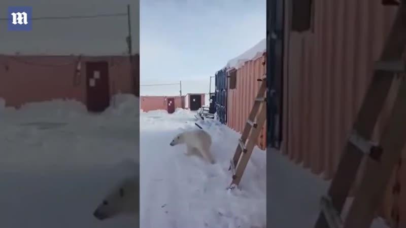 Cachorro de oso polar huérfano abraza a los rescatistas